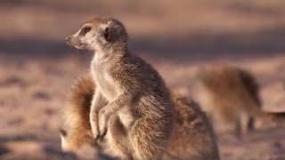 Download Meerkat Mother Exiles her Daughters for Her Unborn Babies   BBC Earth Video