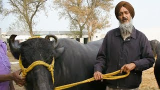 Download Murrah buffalo 26 year old 25 kg milk record holder Video