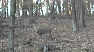 Download 8 point buck grunting Video