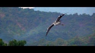 Download Grey Heron In Flight (RX10 Mark IV) Video
