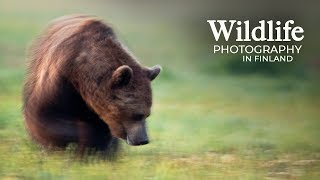 Download Wildlife Photography - WOLVES and BEARS part 2 | Behind the scenes in the photo hide Video