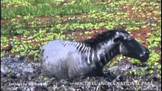 Download Zebra escape 3 crocodiles in the Luangwa Video