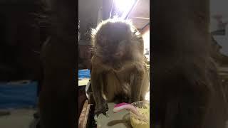 Download Java Monkey Munchin Her Egg Salad Video