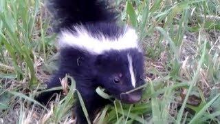 Download Baby Skunk Friend!! (ORIGINAL) Video