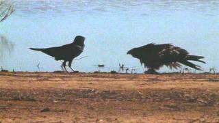 Download Crow vs Hawk Video