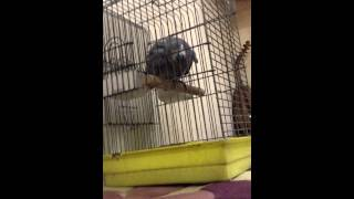 Download Kurdish Funny Parrot 2013 ببغاء كوردي Video