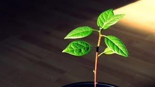 Download Pruning an indoor Avocado Tree Video