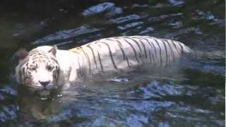 Download Singapore Zoo, HD Experience Video