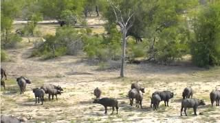 Download Jan 24 Djuma Cam Lions launch attack on buffalo herd Video