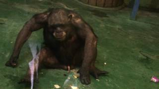 Download У шимпанзе стоит дилдо (the chimpanzee has a good erection and he plays with it) Video