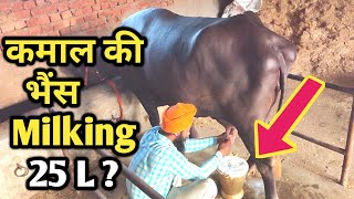 Download Black Diamond Heavy Buffalo Milking test at our Dairy farm|Diet plan|Buffalo Farming india|भैंस पालन Video