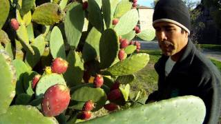 Download How To Eat A Prickly Cactus Pear Video