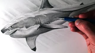 Download How to Draw a Great White Shark Video