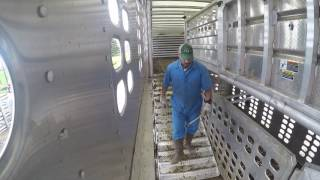 Download Loading Fat Cattle in Illinois. Video