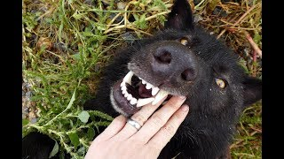 Download Think You Want a Wolfdog? Abuse & Vanity of the Human Ego Video