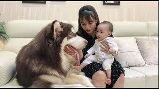 Download Mật làm bả mẫu trông bé Judy - Alaska Dog look Baby - Mật Pet Family Video