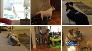 Download Would your dog protect you during a break-in? Video