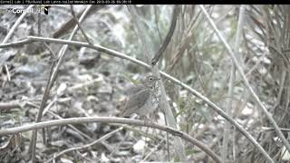 Download SURPRISE migrant Swainson's Thrush Preens Then Displaced by Aggressive Rufous-and-white Wren Video