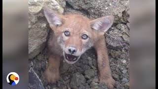 Download SCARED Coyote Trapped in COLLAPSED DEN Can't Wait To Be Free | The Dodo Video