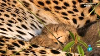 Download Grandes documentales - La madre guepardo Video