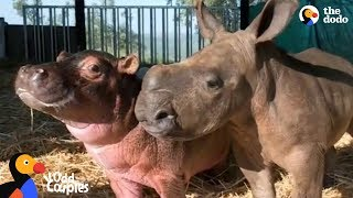 Download Baby Hippo and Orphaned Rhino Fall In Love With Each Other | The Dodo Odd Couples Video
