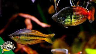 Download WOW! Amazing Rainbowfish and African Cichlids Fish Room Tour With Steenfott Aquatics Video
