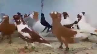 Download 2017 Arap Elvan Filo Güvercinleri 3 Video