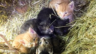 Download LIVE: Surprise baby kittens from Stanley's feral colony! TinyKittens Video