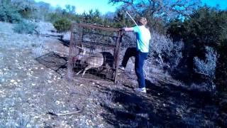 Download deer caught in hog trap Video