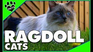 Download Cats 101: Ragdoll Cats Top 10 Facts Ragdoll Cats 101- Ragdoll Cat Breed - Animal Facts Video