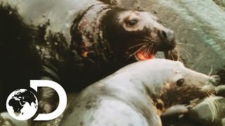 Download Mating Season Can Be A Violent Time For Grey Seals   Wildest Arctic Video