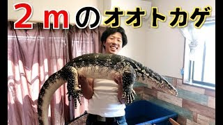 Download 2m超のオオトカゲに魚を与えてみたら凄すぎた! 7feet Commonwatermonitor Video
