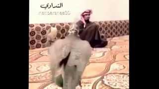 Download صقر طير حر مدرب صح Video