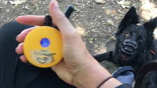 Download Rehabbing aggressive and nervous dogs with ecollar training, dog training Video