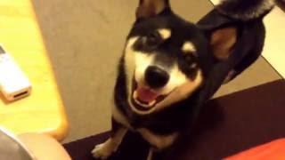 Download 【胡黃來寶】黑柴犬想吃消夜,用吵架的方式要 Video