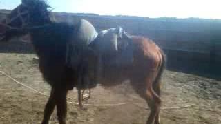Download Асаудын кулагында ойнаган Ержан Айбат АТЫРАУ Video