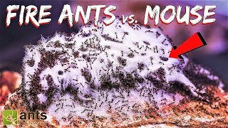 Download I Gave My Ants a Mouse Video
