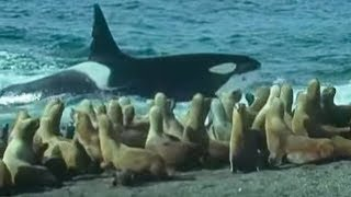 Download Killer Whales vs Sea Lions | Attenborough: Trials of Life | BBC Earth Video