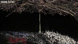Download Life - The Vogelkop Bowerbird: Nature's Great Seducer - BBC One Video