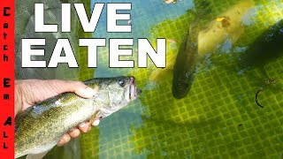 Download FISH EATS FISH Same Species Video