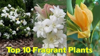 Download Top 10 Fragrant Plants To Make Your Every Day A Refreshing & Fragrant Video