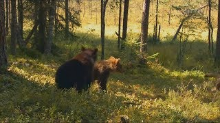 Download Baby Bears Alone in the Forest Video