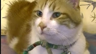 Download 猫にゴロゴロの謎について質問してみた♥♥猫との会話を楽しむ動画 Conversation with a cat Video
