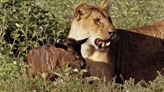 Download Baby Wildebeest Treats Lioness Like Mom Video