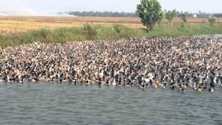 Download Herding Millions of Ducks Video