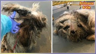 Download Ils prennent en charge un chien dans un état terrible et comprennent en le rasant qu'ils ... Video