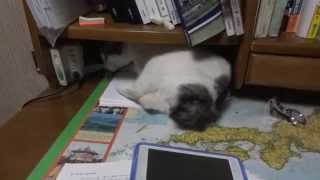 Download 机で作業を妨害するボブテイル猫 Japanese Bobtail cat disturbs my studies Video