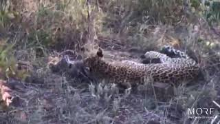 Download The Postmans female leopard and her weeks-old leopard cub Video