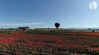 Download Oregon's Wooden Shoe tulip festival as seen by drone Video