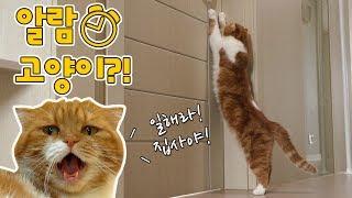Download 알람 고양이?! - 집사가 아침에 일어나기 전 고양이들 행동은?! Video